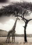 Vlies Fototapete Giraffen Safari 184x254cm 001