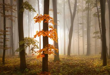 Papier Fototapete Nebeliger Wald im Herbst 368x254cm – Bild 1