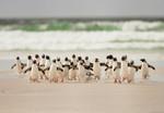 Papier Fototapete Gehende Pinguine 368x254cm 001