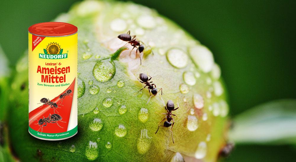 Ameisen dauerhaft loswerden ...