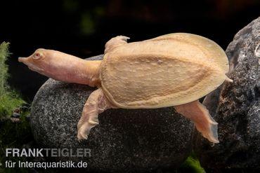 Chinesische Weichschildkröte albino, Pelodiscus sinensis