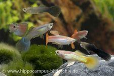 Guppy Männchen Farb-Mix, Poecilia reticulata