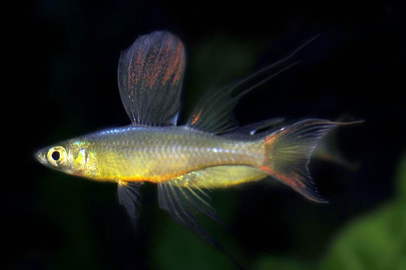 Prachtregenbogenfisch iriatherina werneri tiere zierfische for Gartenteichfische arten