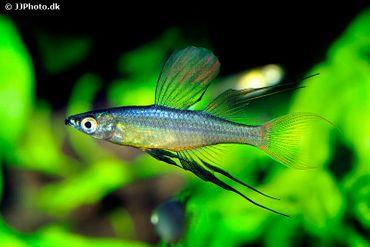 Prachtregenbogenfisch, Iriatherina werneri – Bild 2