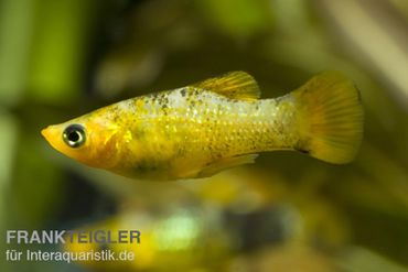 Goldpuder-Molly, Poecilia sphenops