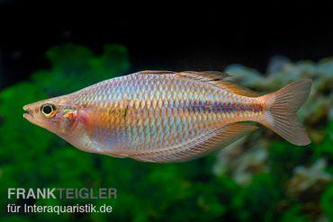 """Kiura-Regenbogenfisch, Melanotaenia cf. goldiei """"Kiura"""", 5 Tiere"""