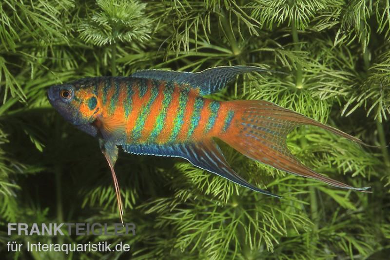 Paradiesfisch macropodus opercularis tiere zierfische for Zierfische im teich