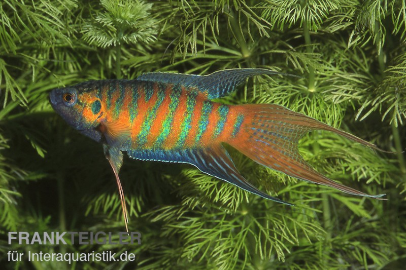 Paradiesfisch, Macropodus opercularis