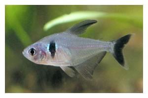 Schwarzer Phantomsalmler, Hyphessobrycon megalopterus