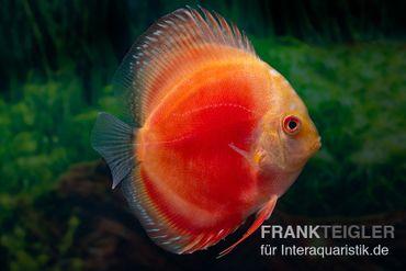 Diskusfisch ASIA-NZ, Symphysodon discus Marlboro Red