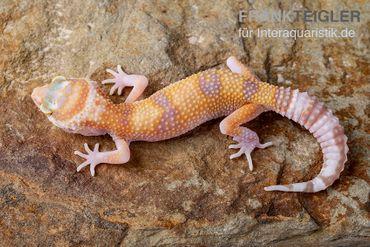 Leopardgecko, Eublepharis macularius, APTOR