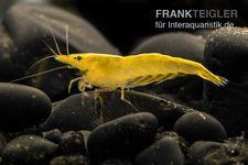 "Gelbe Zwerggarnele, Neocaridina heteropoda ""Yellow Fire"""
