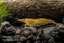 "Gelbe Zwerggarnele, Neocaridina heteropoda ""Yellow Fire"" – Bild 5"