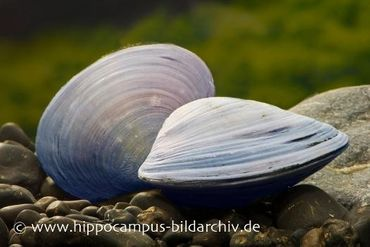 Herzmuschel 'blau', Polymesoda sp.