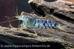 Blaue Tigergarnele, Caridina cantonensis sp. 'Blue Tiger' 001