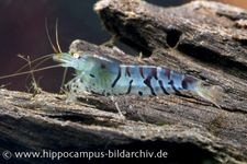 Blaue Tigergarnele, Caridina cantonensis sp. 'Blue Tiger'