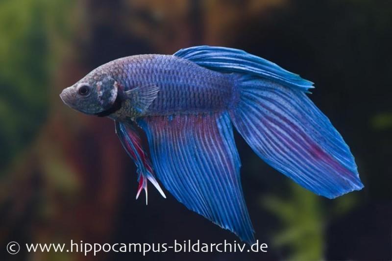 Long Tail Kampffisch blau, Männchen, Betta splendens