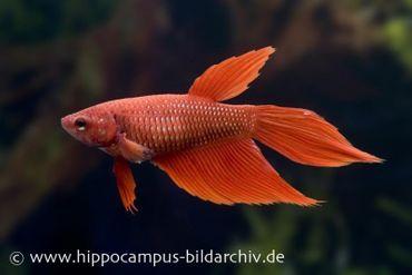 Long Tail Kampffisch rot, Weibchen, Betta splendens
