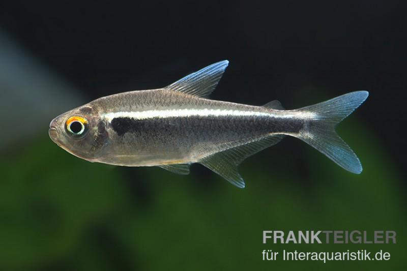 Schwarzer neon hyphessobrycon herbertaxelrodi dnz tiere for Gartenteichfische arten