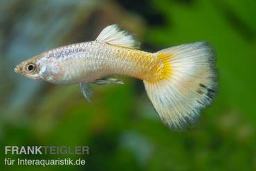 Guppy Männchen German Yellow, Poecilia reticulata – Bild 2