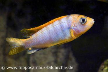 "Blauer Labidochromis ""Red Top"", Labidochromis hongi, DNZ"