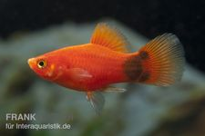 Mickey Mouse Platy rot, Xiphophorus maculatus