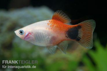 Mickey Mouse Platy Ananas/pink, Xiphophorus maculatus
