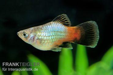 Regenbogen-Platy, Xiphophorus maculatus