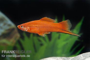 Roter Schwertträger, Xiphophorus helleri – Bild 5