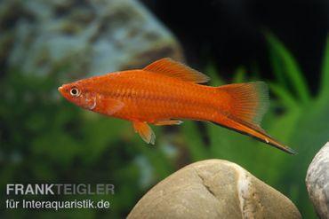 Roter Schwertträger, Xiphophorus helleri – Bild 6