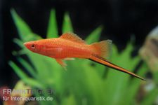 Roter Schwertträger, Xiphophorus helleri