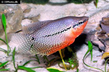 Mosaikfadenfisch, Trichogaster leeri, DNZ, 5-8 cm