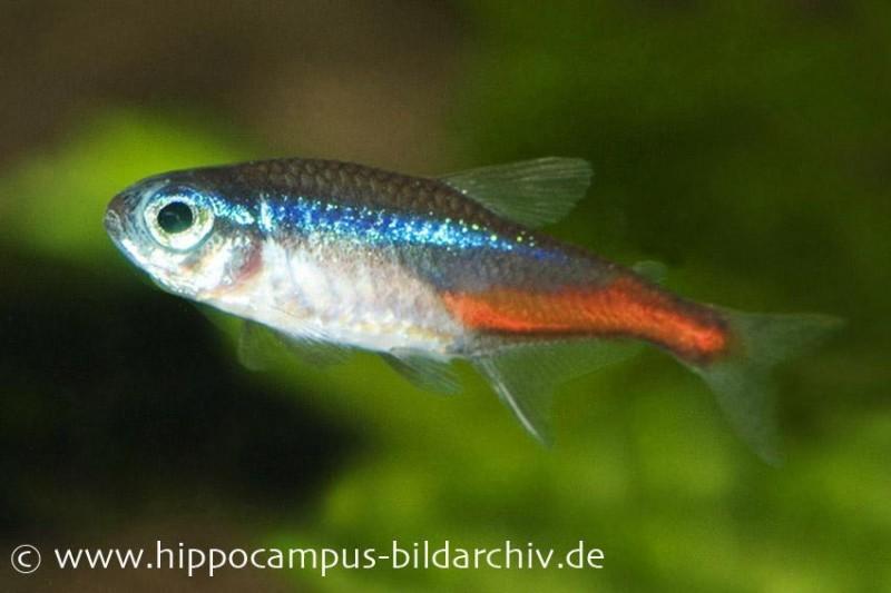 Neonsalmler m paracheirodon innesi tiere zierfische for Gartenteichfische arten