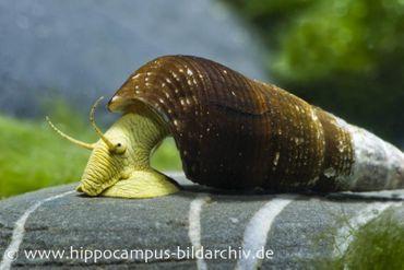 Gelbe Perlhuhnschnecke, Tylomelania sp.