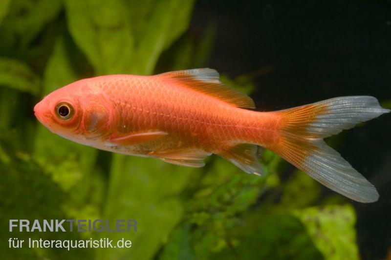 Goldfisch rot carassius auratus 4 7 cm kaltwasser for Goldfischarten teich