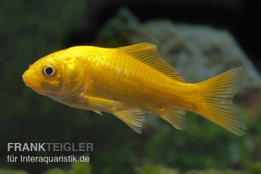 Goldfisch Gelb, Carassius auratus, 4-7 cm (Kaltwasser)