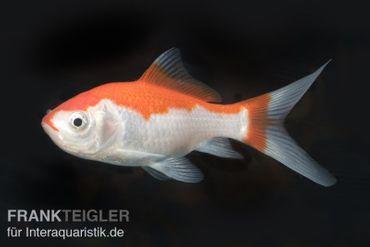 Goldfisch Sarassa rot-weiß, Carassius auratus, 4-7 cm (Kaltwasser)
