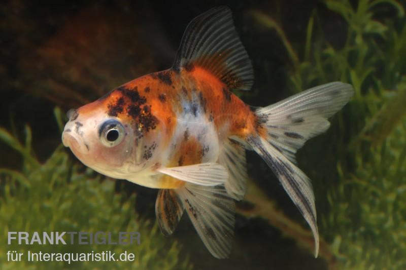 Schleierschwanz calico carassius auratus kaltwasser for Teichfische bestellen