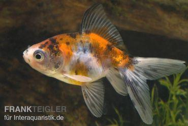 Schleierschwanz Calico, Carassius auratus, (Kaltwasser)