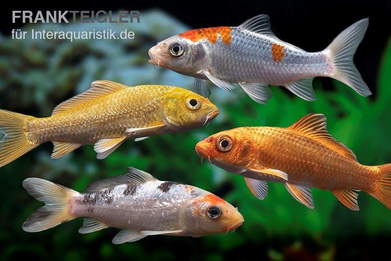 Koi Farbmix Israel, Cyprinus carpio, verschiedene Größen (Kaltwasser)