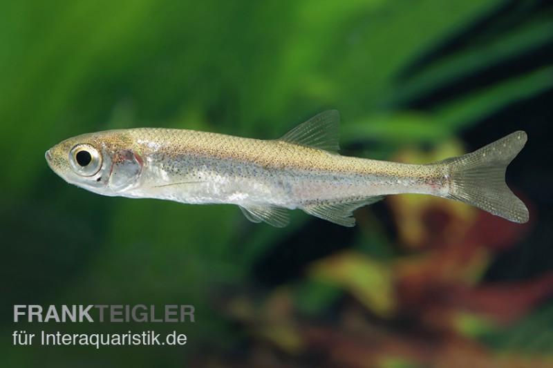 Moderlieschen, Leucaspius delineatus, DNZ, 5-7 cm (Kaltwasser)