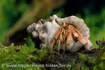 Landeinsiedlerkrebs, Coenobita pseudorugosus