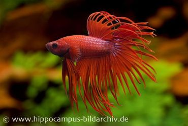 Crown Tail Kampffisch rot, Männchen, Betta splendens