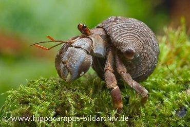 Landeinsiedlerkrebs, Coenobita rugosus – Bild 3