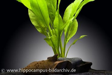 Breite Amazonaspflanze, Echinodorus bleheri, Topf