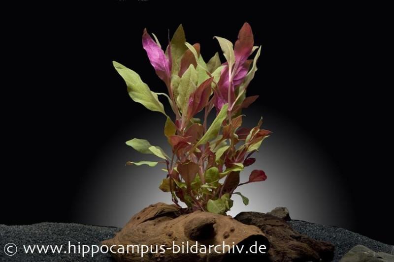 Breitblättriges Papageienblatt, Alternanthera reineckii var. cardinalis, Topf