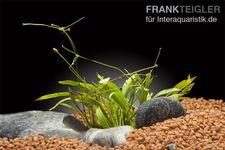 Grasartige Schwertpflanze, Echinodorus tenellus, Topf