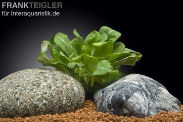 Grüne Wasserrose, Samolus parviflorus, Topf