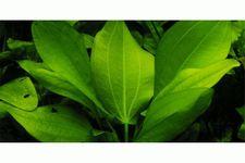 Herzblättrige Schwertpflanze, Echinodorus cordifolius (fluitans), Topf – Bild 2