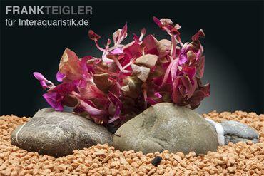 Lilablättriges Papageienblatt, Alternanthera lilacina, Topf